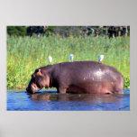 Public Transportation Hippopotamus Portrait Posters