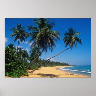Puerto Rico, Isla Verde, palm trees. Print