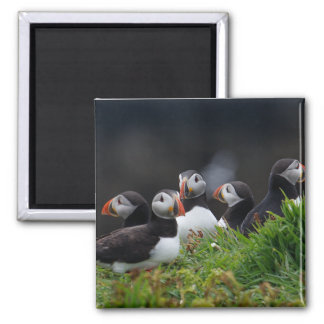 Puffin Gang Square Magnet