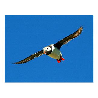 Puffin in flight skellig Islands Ireland Post Card