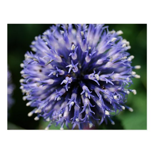 Puffy Purple Flower! Postcard