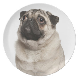 Pug (13 months old) looking up plate