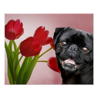 Pug and Tulips Poster