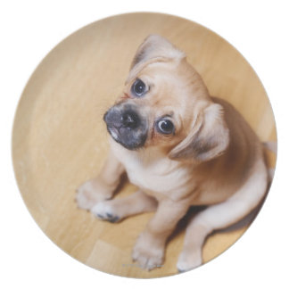 Pug Cross Cavalier King Charles Spaniel Plate