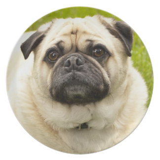 Pug dog cute dog beautiful photo, gift party plate