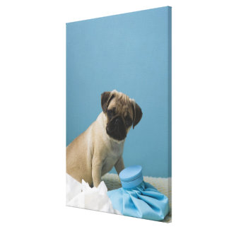 Pug dog sitting on bed by hot water bottle and canvas print