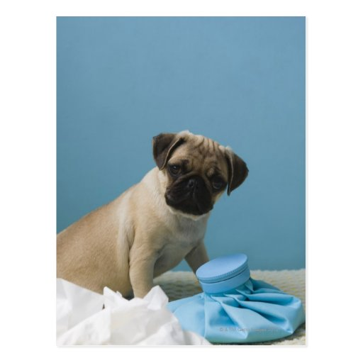 Pug dog sitting on bed by hot water bottle and postcards