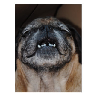 Pug Dog With Mouth Opened Postcard