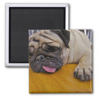 Pug Had One Too Many Square Magnet