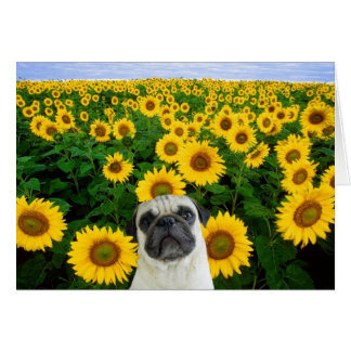 Pug in sunflowers greeting card