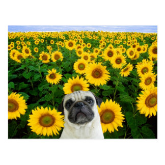 Pug in Sunflowers postcard