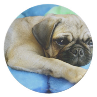 Pug laying on pillows plate
