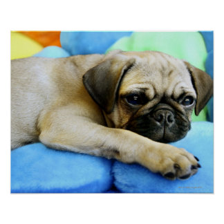 Pug laying on pillows poster