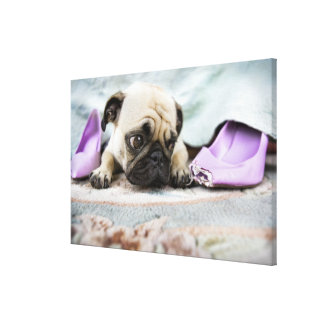 Pug looking innocent after chewing the toe off canvas print