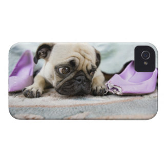 Pug looking innocent after chewing the toe off Case-Mate iPhone 4 cases