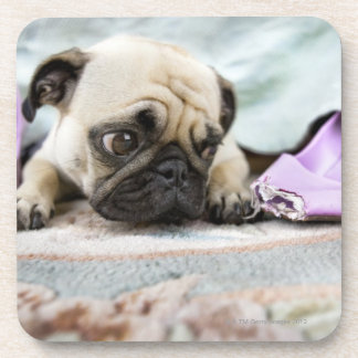 Pug looking innocent after chewing the toe off coaster