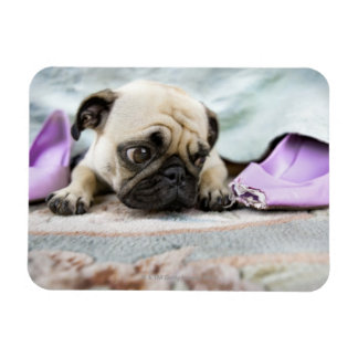 Pug looking innocent after chewing the toe off vinyl magnets