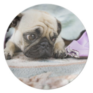 Pug looking innocent after chewing the toe off plate