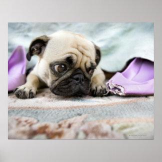 Pug looking innocent poster