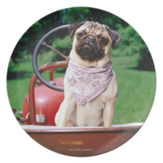 Pug on lawnmower wearing bandana plate