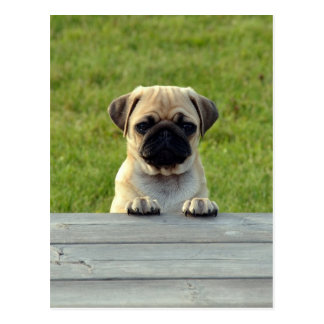 Pug Pup Postcard