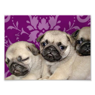 Pug puppies dog photo print