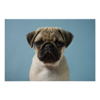Pug Puppy Against Blue Background Poster