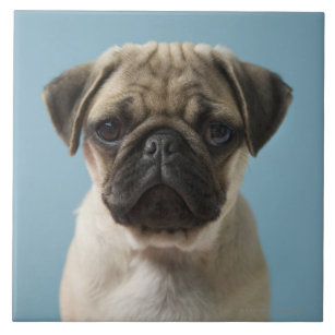 Pug Puppy Against Blue Background Tile