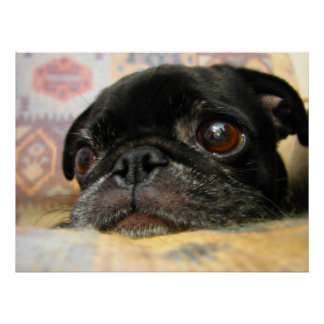 Pug Puppy Black Face Poster