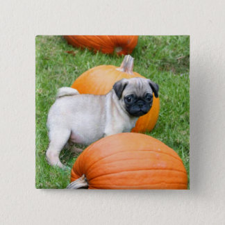 Pug puppy in pumpkins button