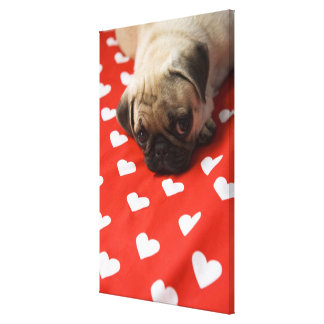 Pug puppy lying on bed, close up canvas print
