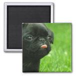 Pug Square Magnet