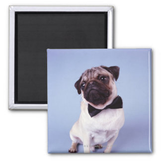 Pug wearing bow tie, close-up magnet