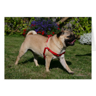 Pug Wearing Red Harness Card