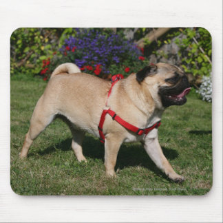 Pug Wearing Red Harness Mouse Mat