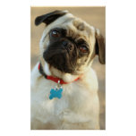 Pug with a Questioning Expression Poster
