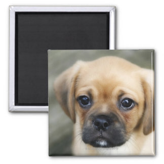 Pugalier Puppy Looking at Camera Magnet