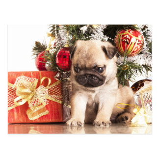 Pugs and Christmas gifts Postcard
