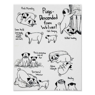 Pugs Descended From Wolves? Poster