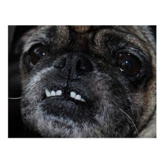 Pugs Pearly White Teeth Postcard