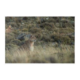 Puma Blends into the Land Acrylic Print