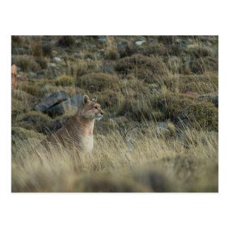Puma Blends into the Land Postcard