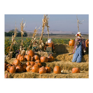 Pumpkin display with hay bales and scarecrows post card
