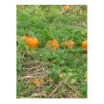 Pumpkins all in a row postcard