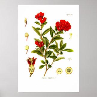 Punica granata (pomegranate) poster