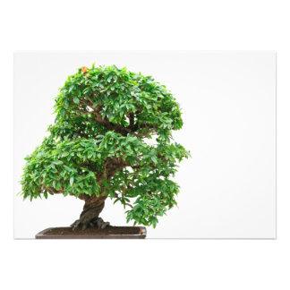 Punica Granatum bonsai tree Announcement