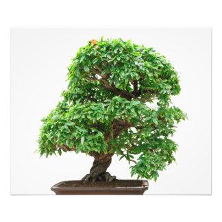 Punica Granatum bonsai tree Photo Art