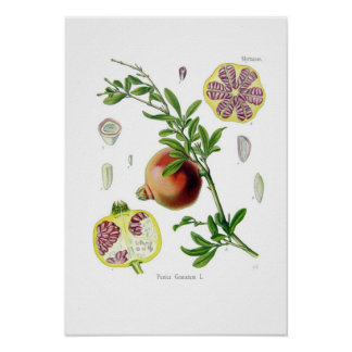 Punica granatum (Pomegranate) Poster