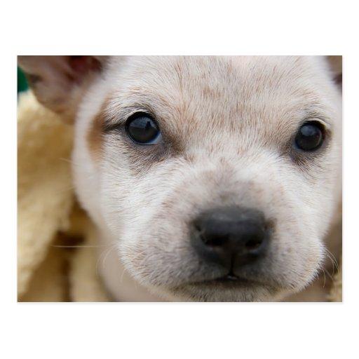 Puppy #1 postcard