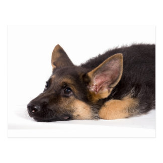 puppy german sheperd postcard